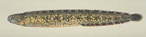 幻の魚「銀宝ギンポ」